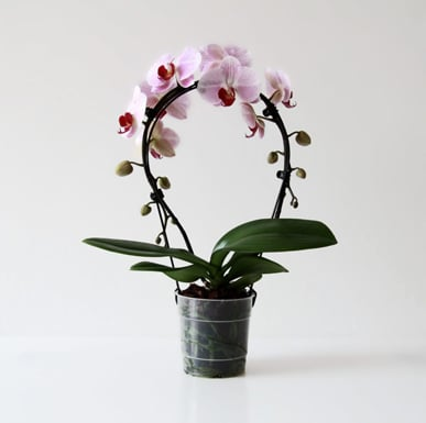 Groeivorm 'Orchid Bow'